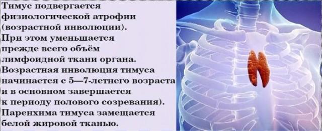 развитие вилочковой железы тимуса