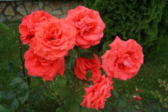 Болгария море розы
